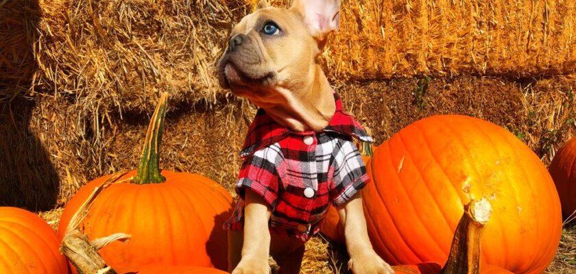 plaid shirt for dog